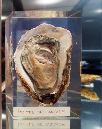 Ein besonders Exemplar einer Auster
