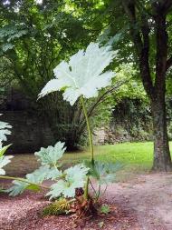 Die Riesenblattpflanze